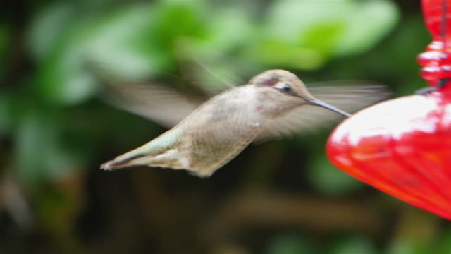 Three videos of real humming bird in 4K