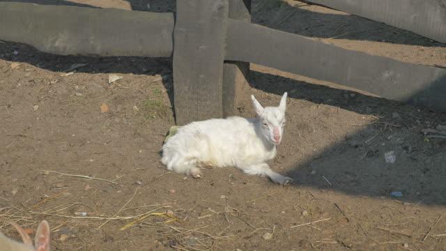 vídeos de stock e filmes b-roll de three videos of young goat in 4k - campo murado