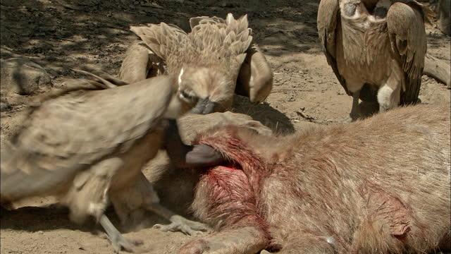 vidéos et rushes de three vultures eating sambar deer - medium shot - medium group of animals