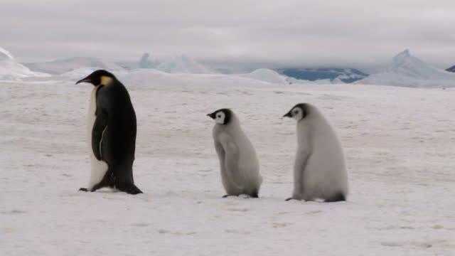 drei walking penguins rl-pfanne - jungvogel stock-videos und b-roll-filmmaterial