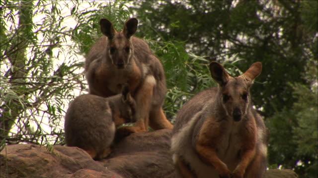 MS Three Wallabies (Macropus agilis) on rock, Featherdale Wildlife Park, New South Wales, Australia
