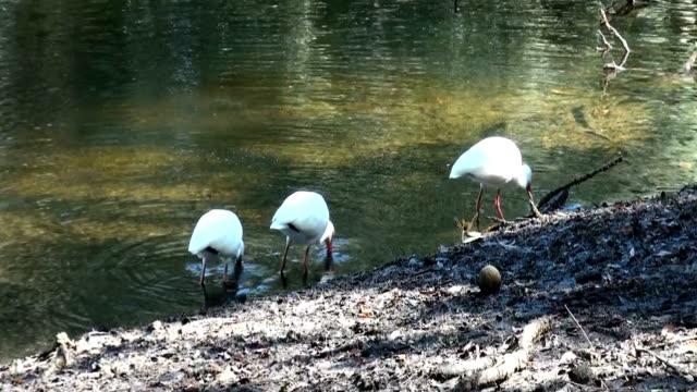 Three White Ibis, Eudocimus albus, feeding along edge of river