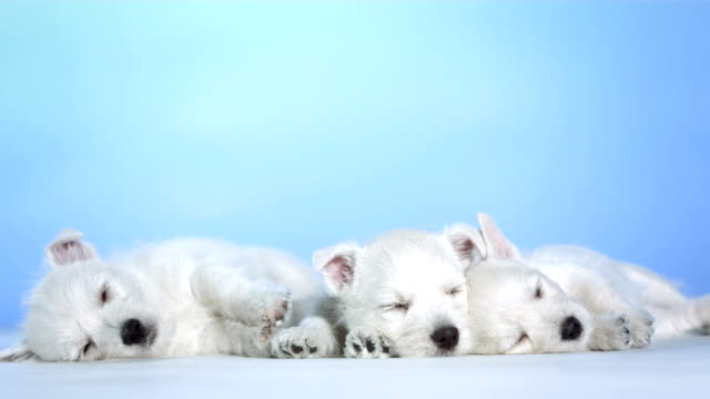 hd: three white puppies sleeping - three animals stock videos & royalty-free footage
