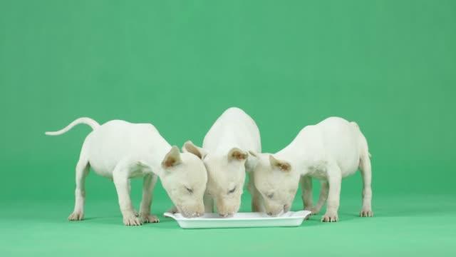 4k three white thai ridgeback puppy drinking milk on green screen - chroma key studio stock videos & royalty-free footage