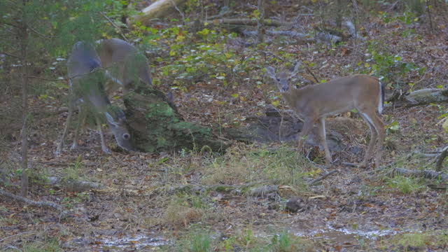 three white-tailed fawn foraging in woods of piedmont, north carolina - foraging stock videos & royalty-free footage