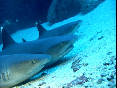 Three whitetip reef sharks lie on seabed gulping to force water over their gills, Cocos Island, Costa Rica