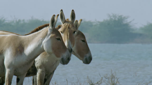 vidéos et rushes de three wild ass standing behind each other - medium close up - medium group of animals