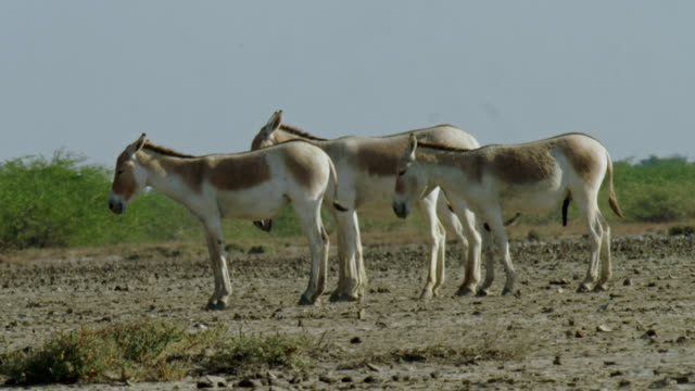 vidéos et rushes de three wild ass standing in semi arid area - mid shot - accouplement cheval