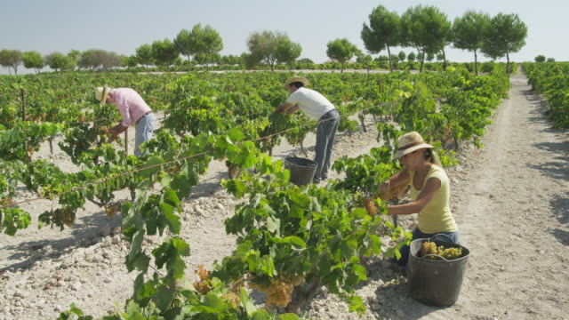 ws three workers harvesting grapes in vineyard / near jerez de la frontera, andalusia, spain - secateurs stock videos & royalty-free footage