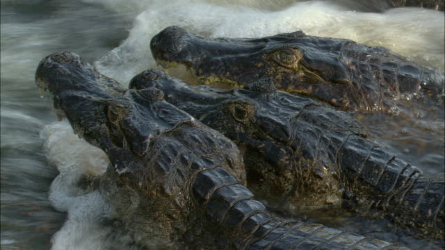 CU Three Yacare Caimans (Caiman yacare) in rushing water with mouths open waiting to catch fish / Pantanal, Mato Grosso do Sul, Brazil