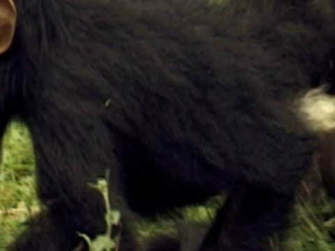 ecu, zo, ms, three young chimpanzees (pan troglodytes) playing, gombe stream national park, tanzania - common chimpanzee stock videos & royalty-free footage