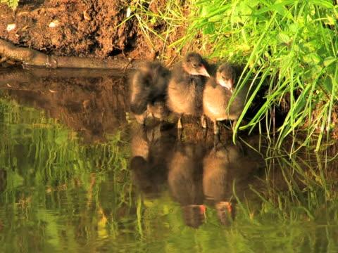 vídeos y material grabado en eventos de stock de ntsc: tres jóvenes coots - grupo pequeño de animales