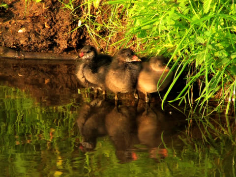 stockvideo's en b-roll-footage met pal: three young coots - koet