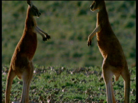 Three young male red kangaroos spar in outback