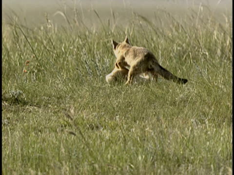 ms, pan, three young swift foxes (vulpes velox) playing in grass, alberta, canada - 1992 stock videos & royalty-free footage