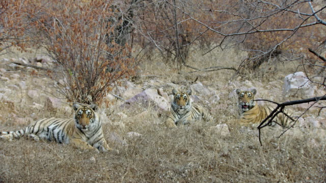 three young tigers in dry forest - thorn stock videos & royalty-free footage