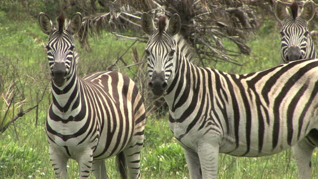 Three Zebra