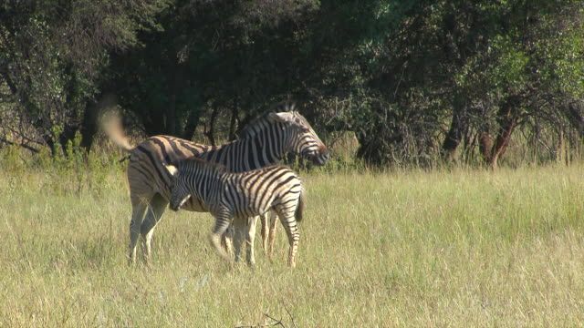 MS Three zebra's standing in veld at Entabeni Private Game Reserve / Limpopo, South Africa