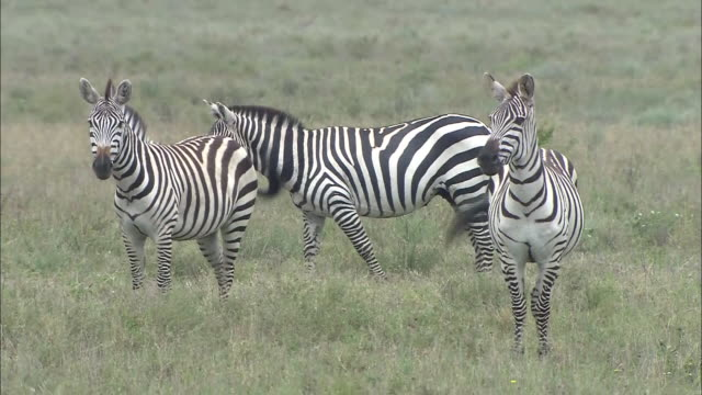 Three zebras standing on the grass in Serengeti National Park, Tanzania