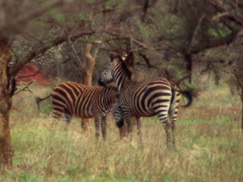 three zebras - pflanzenfressend stock-videos und b-roll-filmmaterial