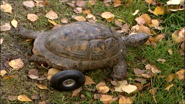 three-legged tortoise gets new wheel; england: wiltshire: longleat safari park: ext vars winky along over grass with rubber wheel to replace missing... - wiltshire stock videos & royalty-free footage