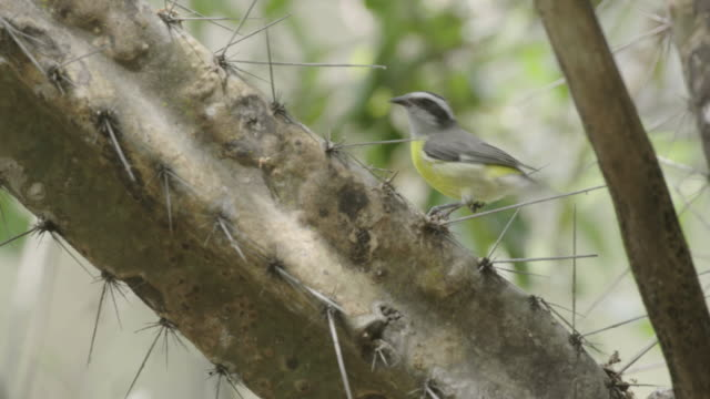 three-striped warbler on a cactus - warbler stock videos & royalty-free footage