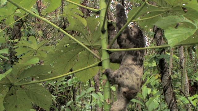 vídeos de stock e filmes b-roll de ws three-toed sloth climbing tree/ manu national park, peru - preguiça conceito