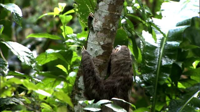vídeos de stock e filmes b-roll de a three-toed sloth climbs the trunk of a tree. - preguiça conceito