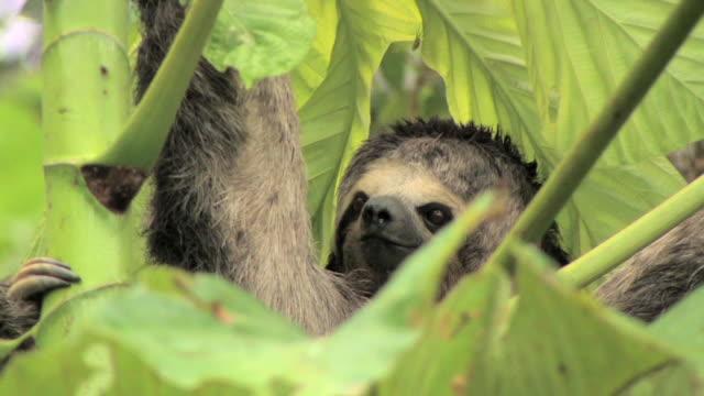 CU three-toed sloth in tree/ Manu National Park, Peru