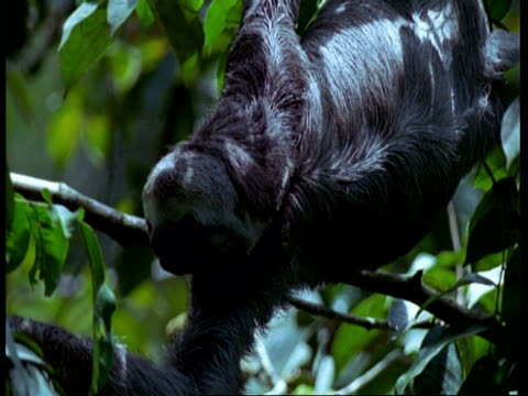 mcu three-toed sloth reaching for leaves, south america - futter suchen stock-videos und b-roll-filmmaterial