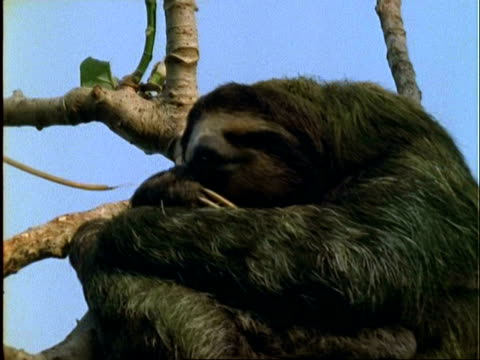 Three-toed Sloth, CU sloth dozing in tree; green algae visible in fur, Panama