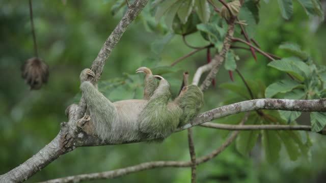 vídeos de stock, filmes e b-roll de three-toed sloth - devagar