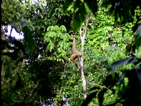 Three-toed Sloth, WA sloth hanging from branch, scratching itself, Panama