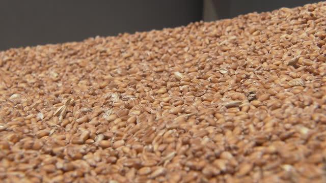 cu, threshed wheat, gunma, japan - 六月点の映像素材/bロール