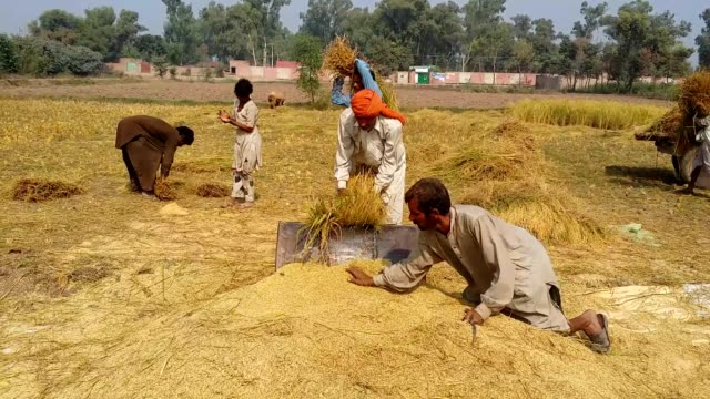 threshing the rice crop to separate the grains with traditional and old method - threshing stock videos & royalty-free footage