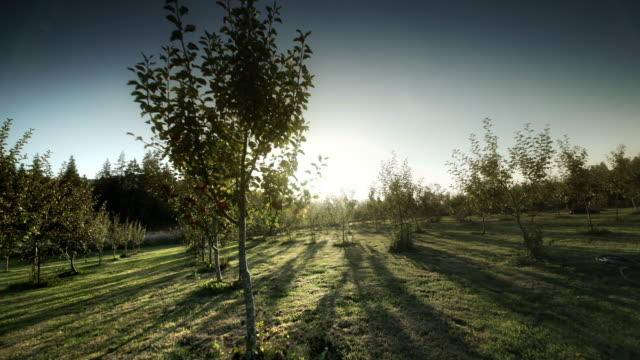 pov through apple orchard on organic farm - orchard stock videos and b-roll footage