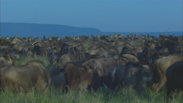 PAN through densely packed wildebeest and zebra herd