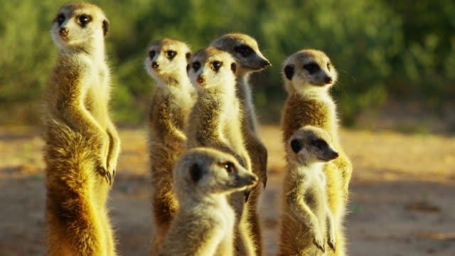vídeos y material grabado en eventos de stock de cu td through family group of meerkats standing in dawn light - grupo mediano de animales