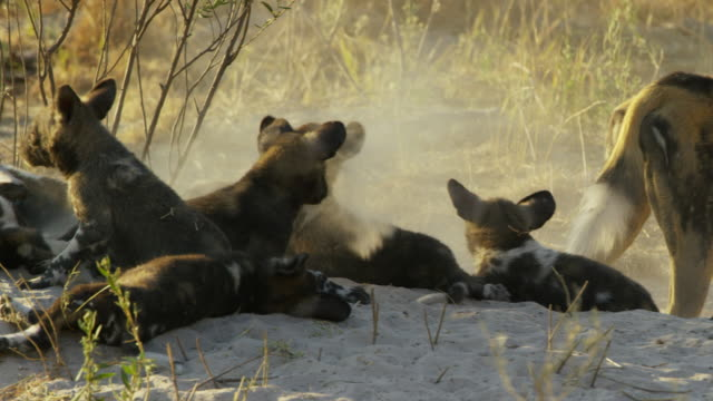 pan through group of african wild dog pups watching adult digging and getting covered in sand - animal behaviour stock videos & royalty-free footage