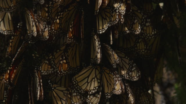 tu through group of brown resting monarch butterflies on branch - farfalla monarca video stock e b–roll