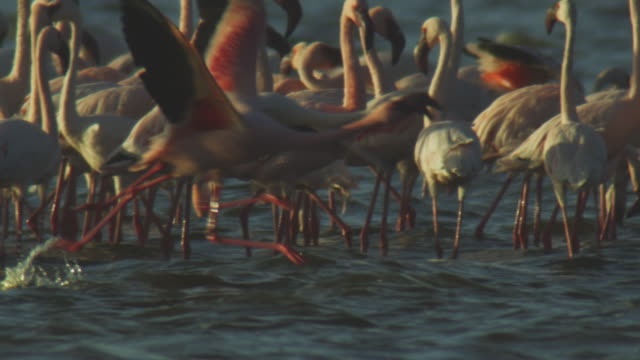 slomo pan through group of lesser flamingoes standing in shallows then pan with flamingo running to take off through foreground - 羽ばたく点の映像素材/bロール