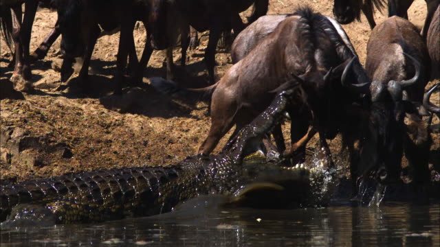 SLOMO TD through herd to Wildebeest to Nile crocodile in river which strikes at them and they run away