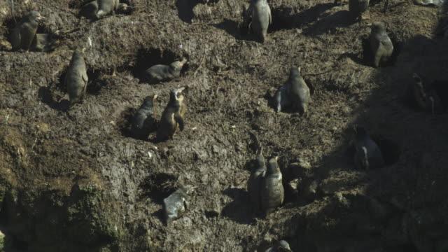 ms tu through muddy humboldt penguin nesting colony - digging点の映像素材/bロール