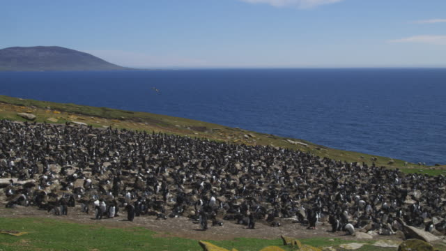 ws pan through rockhopper penguin colony with turkey vulture gliding overhead - flock of sheep stock videos & royalty-free footage