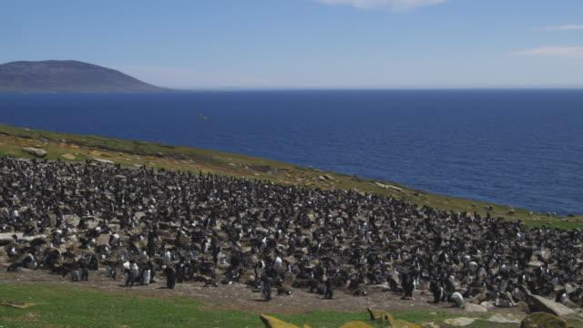 ws pan through rockhopper penguin colony with turkey vulture gliding overhead - gregge di pecore video stock e b–roll