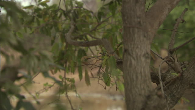 stockvideo's en b-roll-footage met through tree branches two neanderthal creatures approach a watering hole. - prehistorische mens