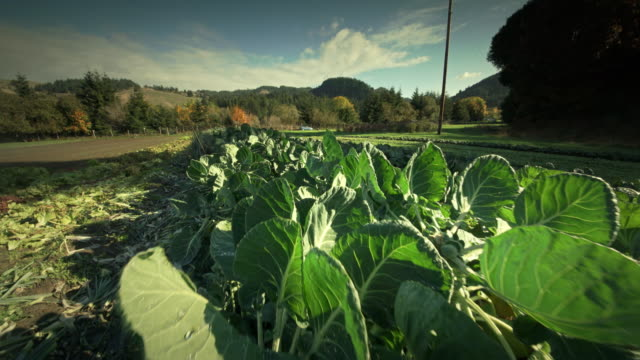 pov through vegetables on organic farm - brussels sprout stock videos & royalty-free footage