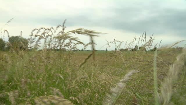 LA POV through wheat growing in field / Brandenburg, Germany
