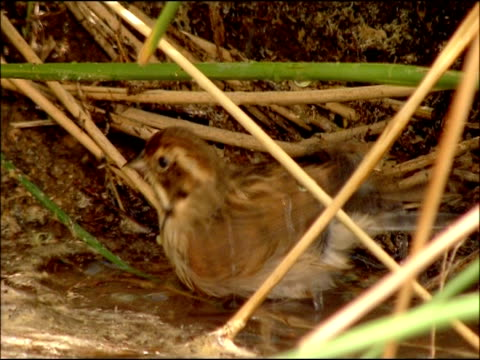 thrush (turdus sp.) bathing, andalusia, southern spain - thrush stock videos & royalty-free footage