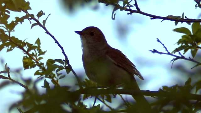 thrush nightingale - singing stock videos & royalty-free footage